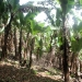 coffeeplantation_costarica005