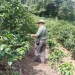 coffeeplantation_costarica010