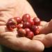 coffeeplantation_costarica014