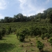 coffeeplantation_costarica019