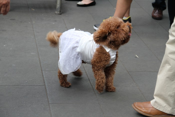 I encountered a doggie wearing a dress!